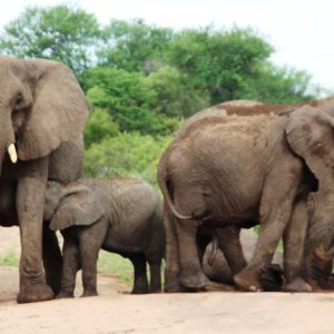 Elephant Big Five