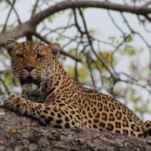 Cheetah Game Drive