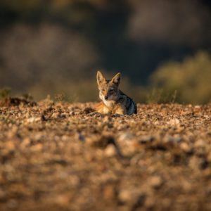 A Black-backed jackal laying on the ground in the Kruger National Park, South Africa.
