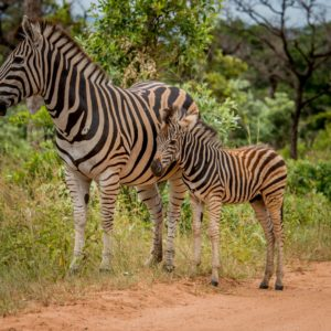 Zebra with a baby in the Kruger National Park, South Africa.