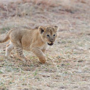 African Lion cub, (Panthera leo), National park of Kenya, Africa