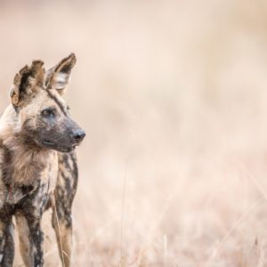 Starring African wild dog in the Kruger National Park, South Africa.