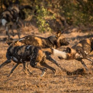 African wild dogs playing together in the Kruger National Park, South Africa.