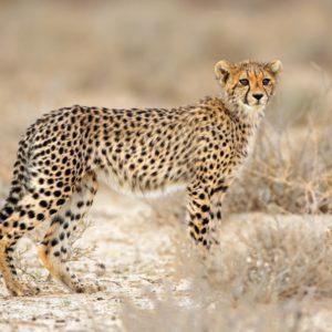 Young cheetah (Acinonyx jubatus) in natural habitat, Kalahari desert, South Africa