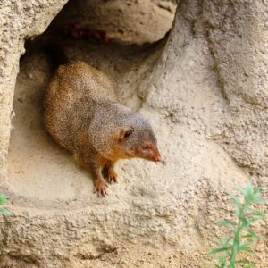 Common dwarf mongoose (Helogale parvula) sits near the burrow