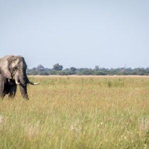 Elephant bull standing in the high grass in the Chobe National Park, Botswana.