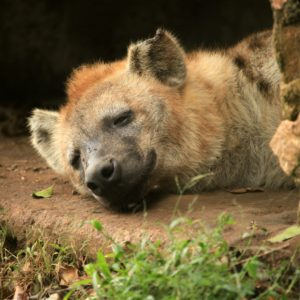 Spotted Hyena - Wildlife in Uganda, Africa