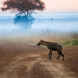 hyenas before dawn, Nairobi National Park