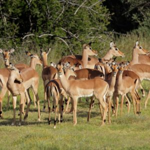 A herd of impala antelopes (Aepyceros melampus), South Africa