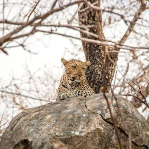 Leopard on the rocks in the Kruger National Park, South Africa.