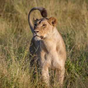Lion standing in the grass in the Chobe National Park, Botswana.