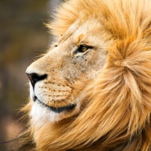 portrait of male lion in Cape Town, South Africa