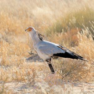 Secretary Bird, Sagittarius serpentarius, Kgalagadi Transfrontier Park, South Africa