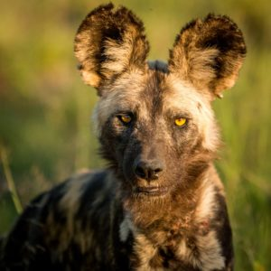 African wild dog starring in the golden light in the Kruger National Park, South Africa.