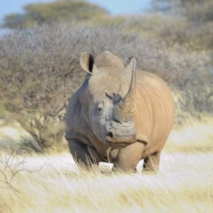 Southern White Rhino in grass field surrounded by thorn bushes