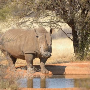 White rhino with big horn at a waterhole